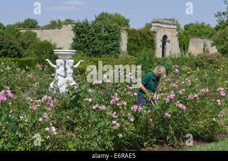 Lady Gärtner arbeiten im Rosengarten bei Wrest Park, UK; eine klassische Marmorstatue im Hintergrund. - Stockfoto