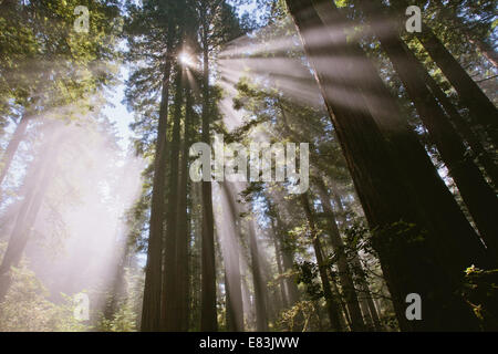 Sonnenstrahlen durch den Wald in Lady Bird Johnson grove - Stockfoto