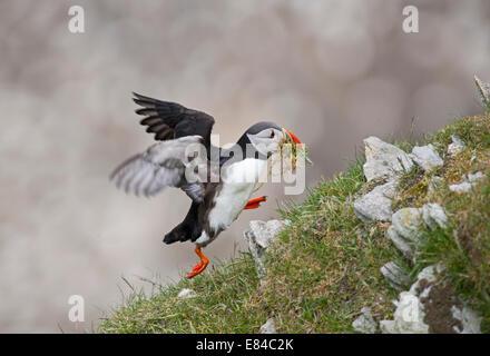 Atlantic Papageitaucher Fratercula Arctica mit Nistmaterial Hermaness NNR Unst Shetland - Stockfoto