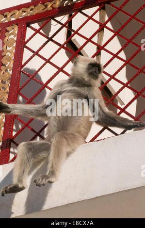 Schwarz konfrontiert indische Languren Affen saßen auf Hotelbalkon. Graue Languren oder Hanuman-Languren, die am - Stockfoto