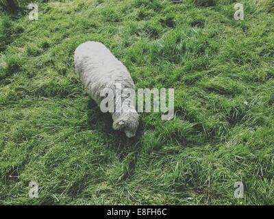 Draufsicht eines Schafes in einem Feld - Stockfoto