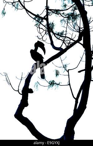 Silhouette der großen Nashornvogel (Buceros Bicornis) im tropischen Regenwald - Stockfoto