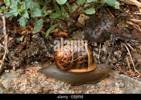 braune Garten Schnecke, braune Gardensnail, gemeinsamer Garten Schnecke, Europäische braune Schnecke (Helix Aspersa, - Stockfoto