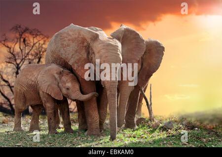 Afrikanischer Elefant (Loxodonta Africana), Elefanten mit Jungtier im Sonnenuntergang, Kenia, Amboseli-Nationalpark - Stockfoto