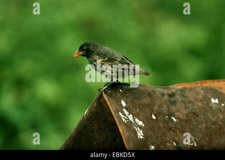 Finch In South Pacific Islands