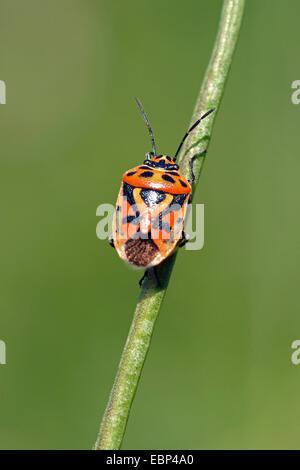 Rotkohl-Bug (Eurydema Ornata), an einem Stiel, Deutschland - Stockfoto