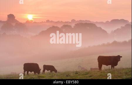 Red Ruby Vieh weidete in der Devon-Landschaft in der Dämmerung an einem nebligen Morgen, Black Dog, Devon, England. - Stockfoto