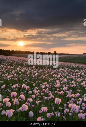 Opium Poppyfield bei Sonnenuntergang, Chilton, Oxfordshire, England. (Juni) im Sommer 2014. - Stockfoto