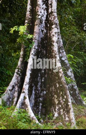 Primärregenwald Langkawi Malaysia, Asien - Stockfoto