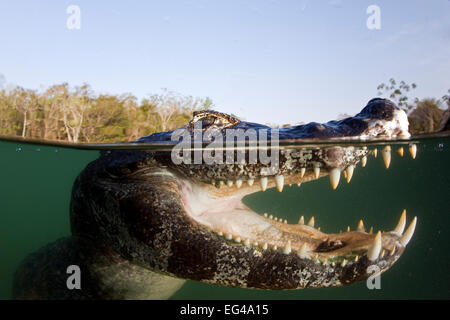 Brillentragende Kaiman (Caiman Crocodilus) Rio Baia Bonita Bonito Mato Grosso Do Sul, Brasilien - Stockfoto