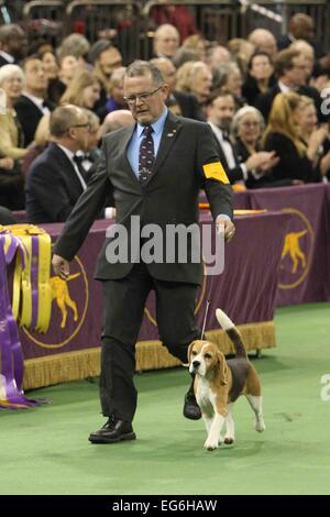 New York, NY, USA. 17. Februar 2015. Miss P, ein 15-Zoll-Beagle aus der Hound-Gruppe, zeigt William Alexander vor - Stockfoto