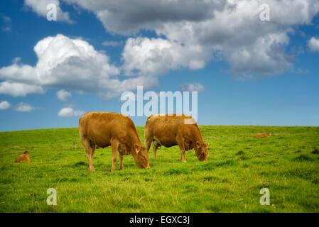 Kühe auf der Weide. Irland. - Stockfoto