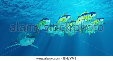 Eine Schule der Gelbflossenthun folgt ein großer weißer Hai wartet auf seine Chance zu streiken. - Stockfoto