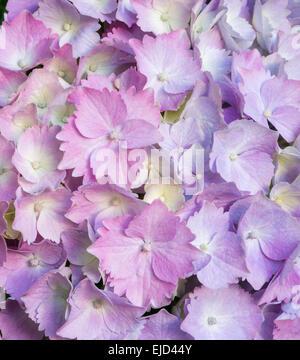 Rosa und Lavendel Hortensie Blütenblätter - Stockfoto