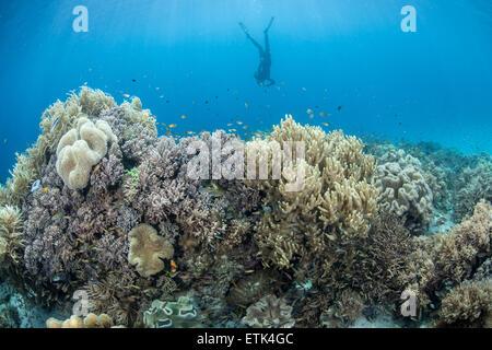 Ein Freitaucher beschäftigt sich mit einem vielfältigen Korallenriff in Raja Ampat, Indonesien. Dieses Gebiet ist - Stockfoto