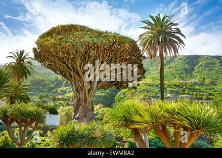 Drachenbaum, Dracaena Draco, La Orotava, Teneriffa, Kanarische Inseln, Spanien - Stockfoto