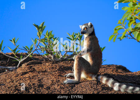 Katta (Lemur Catta), sitzt auf einem Felsen in der Ferne, Madagaskar, Andringitra Nationalpark starrte - Stockfoto