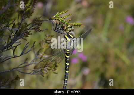 Ein Bild von einer gelben und schwarzen Libelle Sonnenbaden auf einem Stück von Heather. - Stockfoto