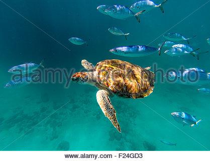 Eine echte Karettschildkröte schwimmt über die Kamera mit einer Schule des Fisches in Barbados. - Stockfoto