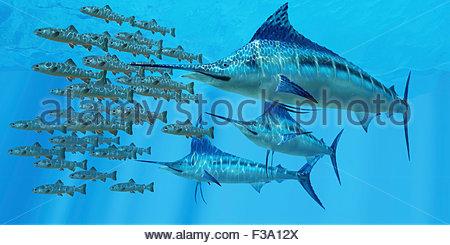 Eine Schule der Amemasu Fisch versuchen, drei große Marlin Raubtiere im offenen Ozean zu entziehen. - Stockfoto