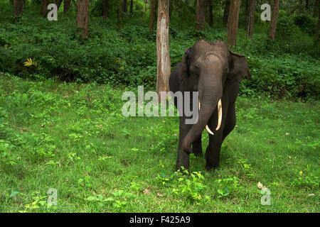 Elefant laden in Bandipur Nationalpark, Karnataka - Stockfoto