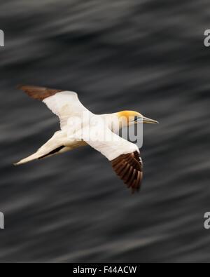 Basstölpel (Morus Bassana) im Flug, Naturschutzgebiet Hermaness, Shetland, Schottland, Juli. - Stockfoto