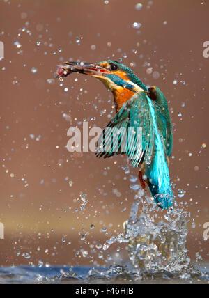 Eisvogel (Alcedo Atthis) fliegt aus Wasser mit gefangenem Fisch, Worcestershire, UK, März. - Stockfoto