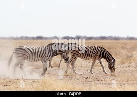 Zebra auf staubigen weißen Sand. Etosha National Park, Ombika, Kunene, Namibia. Wahre Tierfotografie - Stockfoto