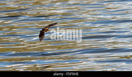 Fledermaus fliegen über Wasser - Stockfoto