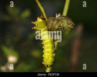 Stachelige Raupe auf einer Pflanze.  Indische Mondmotte oder indischen Luna Motte, Actias selene - Stockfoto