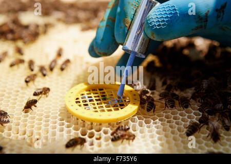 Ein Imker, ein Super in einem Bienenstock eine Weiselkäfig Inverkehrbringen. - Stockfoto