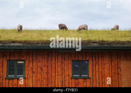 Schafe weiden auf dem Grasdach eines Holzhauses auf den Lofoten in Norwegen - Stockfoto