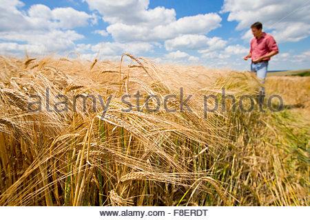 Sonnigen ländlichen Ernte Gerstenfeld im Sommer mit Bauer im Hintergrund - Stockfoto