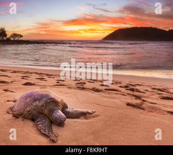 Grüne Meeresschildkröte - Chelonia Mydas - auf dem Sand am Moloa'a Beach an der Ostküste von Kauai in Hawaii - Stockfoto