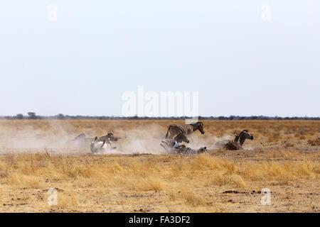 Zebra Rollen auf staubigen weißen Sand. Etosha National Park, Ombika, Kunene, Namibia. Wahre Tierfotografie - Stockfoto