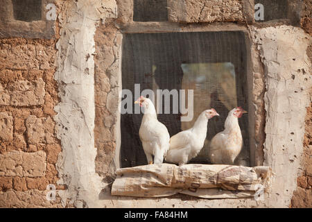 Hühner sitzen im abgeschirmten Fenster einer Scheune in Tengréla Dorf in Burkina Faso. - Stockfoto