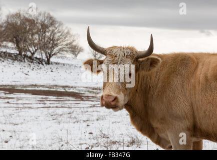 Portrait einer Kuh auf dem Hintergrund der Schnee in Israel - Stockfoto
