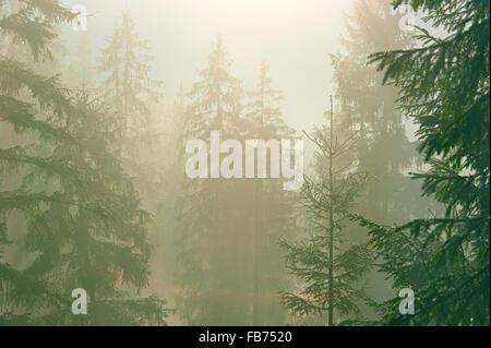 Kiefern im Wald in einem Morgennebel. Karpaten Berge - Stockfoto