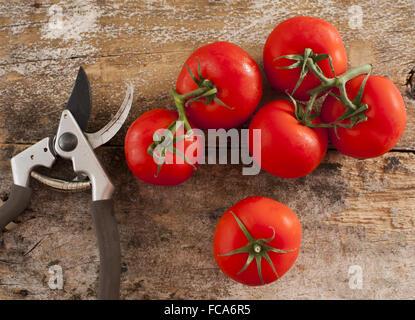 Frisch gepflückt zu Hause angebaute Tomaten - Stockfoto