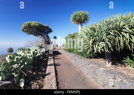 Kanarischen Drachenbaum (Dracaena Draco), Punta Gorda, La Palma, Kanarische Inseln, Spanien - Stockfoto