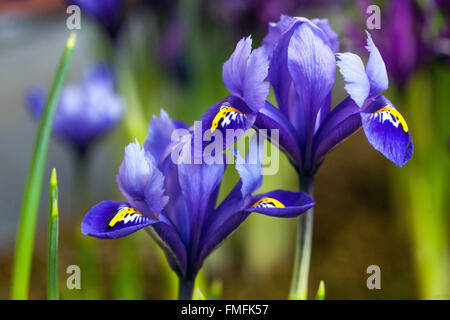 iris reticulata stockfoto bild 16115904 alamy. Black Bedroom Furniture Sets. Home Design Ideas