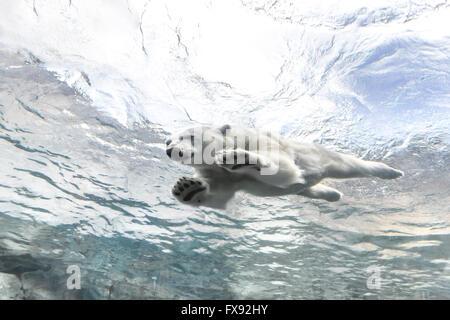 Eisbären Schwimmen unter Wasser auf die Reise zu Churchill, Assiniboine Park Zoo, Winnipeg, Manitoba, Kanada. - Stockfoto