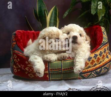 Zwei verspielten Welpen beißen einander in ein Hundebett, innen zu sitzen. - Stockfoto