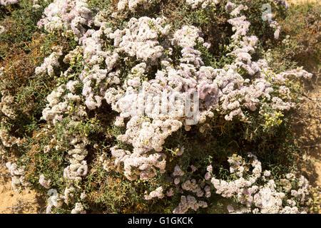 Limonium Papillatum in Blüte in Sanddünen von La Graciosa Insel Lanzarote, Kanarische Inseln, Spanien - Stockfoto