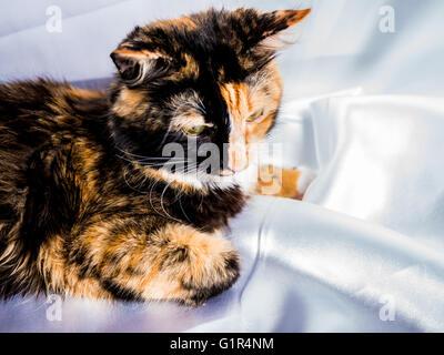 Drei Farben pelzigen Winter Cat weiße Seide Hintergrund - Stockfoto