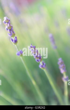 Nahaufnahme von Lavendelblüten in Feld - Stockfoto