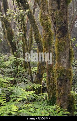Moos bedeckte Bäume und dichten Unterwuchs von Farnen in montane, Wolke gehüllt Lorbeerwald, Anaga-Gebirge, Teneriffa, - Stockfoto