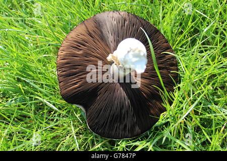 Frisch gepflückt, britische Feld Pilz auf Rasen, Unterseite zeigen. - Stockfoto