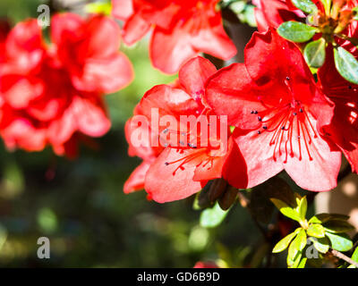 rotes immergr n azalea blumen und pflanze stockfoto bild 56694953 alamy. Black Bedroom Furniture Sets. Home Design Ideas