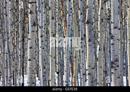 Botanik, stehen der Aspen Bäume zwischen Pyramid Lake und Patricia Lake nahe dem Städtchen Jasper, Jasper Nationalpark, - Stockfoto